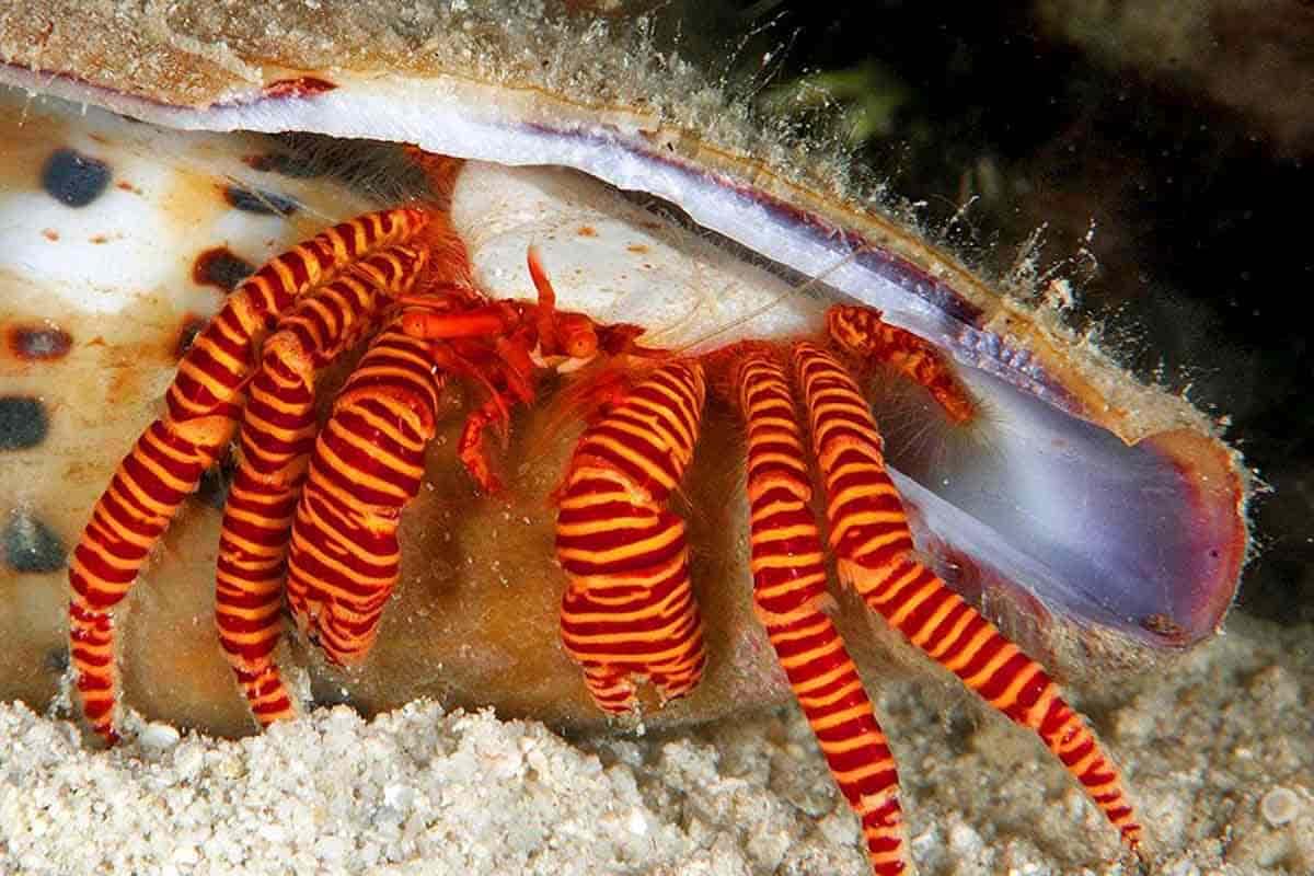 Halloween hermit crabs (Ciliopagurus strigatus)