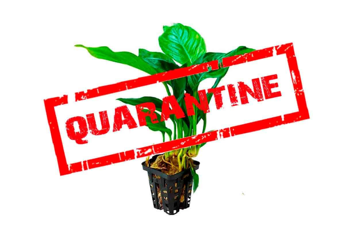 How to Quarantine, Disinfect, and Sterilize Aquarium Plants