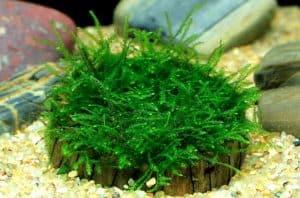 Java Moss - Taxiphyllum barbieri
