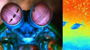 Mantis shrimps vision specter