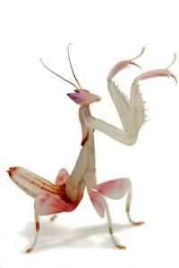 Orchid mantis (Hymenopus coronatus) care
