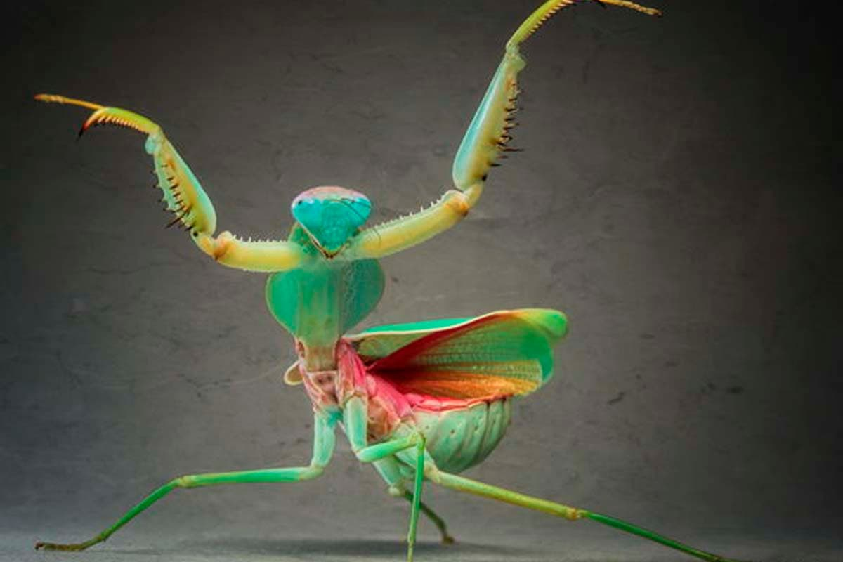 white praying mantis baby