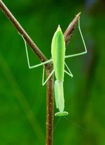 Pygmy mantis miomantis (Miomantis paykullii) care