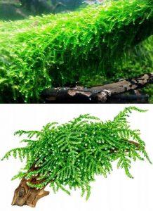 Weeping moss (Vesicularia ferriei)
