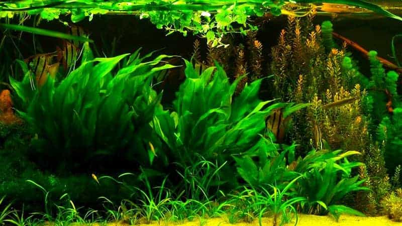 Amazon Sword Plant (Echinodorus genus) in aquascape