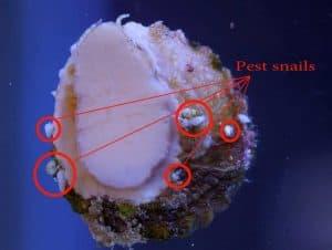 Astrea Snail (Lithopoma tectum Astraea tecta) with pest snails