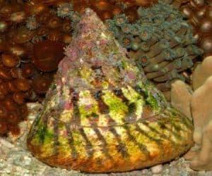 Banded Trochus Snail (Trochus virgatus)