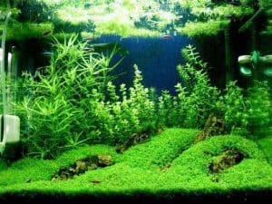 Dwarf baby tears (Hemianthus callitriodes) in aquascapes