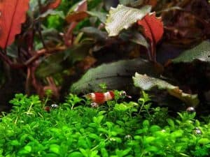 Dwarf baby tears (Hemianthus callitriodes) tankmates shrimp