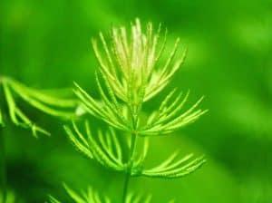 Hornwort (Ceratophyllum demersum) close