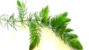 Hornwort (Ceratophyllum demersum) stem