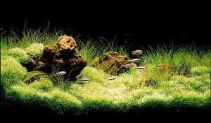 Iwagumi aquascape - Style 1 Fossilized wood