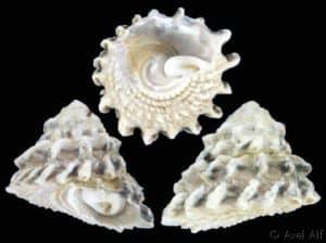 Astrea Snail (Lithopoma tectum, Astraea tecta)