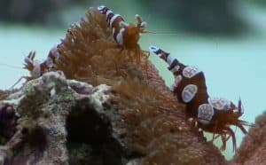 Many 'Sexy' Shrimp (Thor amboinensis)