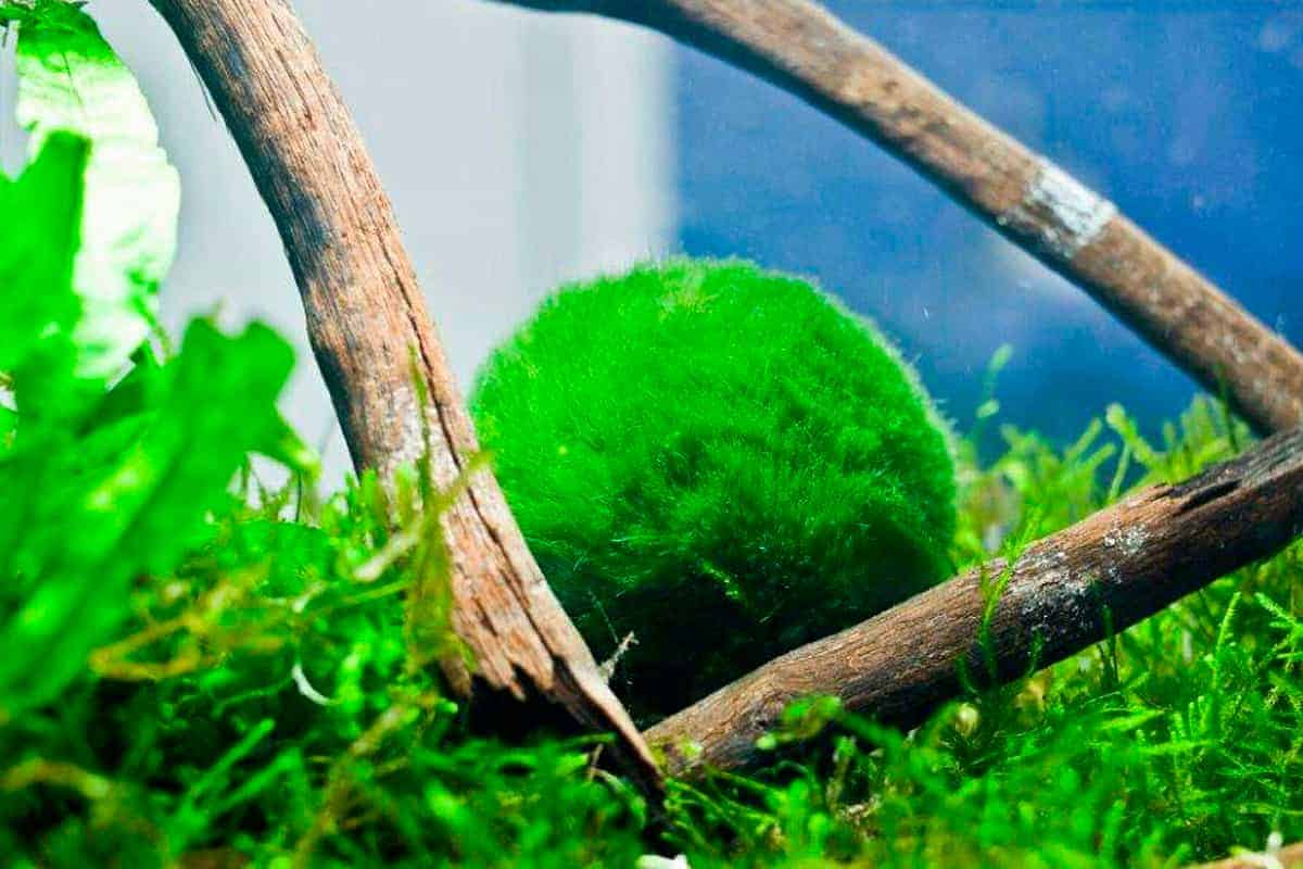 Marimo moss ball (Aegagropila Linnaei)
