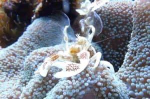 Porcelain Anemone crab (Neopetrolisthes maculatus) fanning