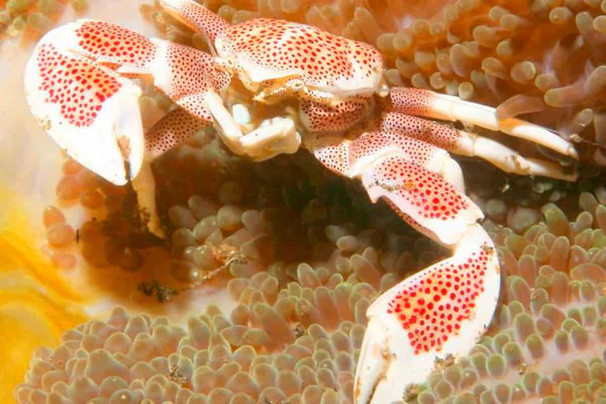 Porcelain Anemone crab (Neopetrolisthes maculatus) logo