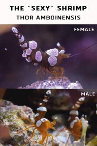 Sexing The 'Sexy' Shrimp (Thor amboinensis)