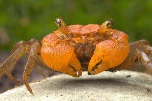 Tangerine-head Crab (Geosesarma krathing)