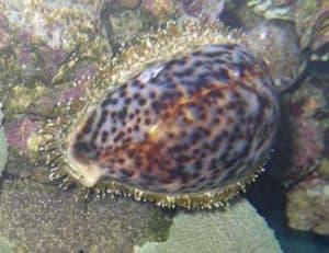Cowrie snail (Cypraea spp.)