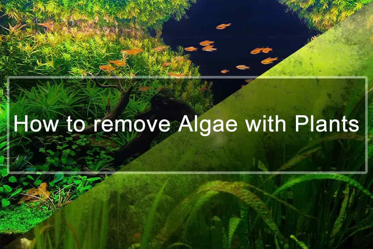 How to remove Algae with Plants