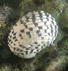 Nerite Snail (Neritina sp)