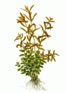 Rotala rotundifolia buy