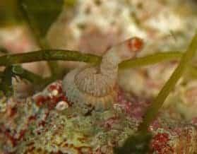 Vermetid Snail (Cerithioidea)