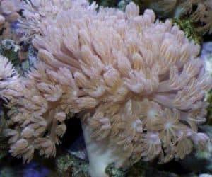 Xenia Corals (Xenia sp.)