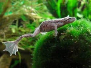 African Dwarf Frogs (Hymenochirus boettgeri)