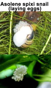 Asolene Spixi snail laying eggs