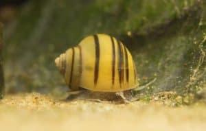 Asolene spixi snail on sand