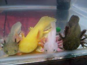 Axolotls (Ambystoma mexicanum) colors