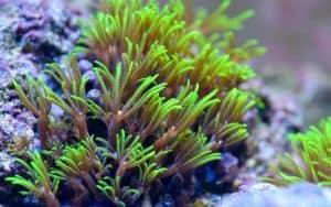 Green Star Polyps (Pachyclavularia sp.)