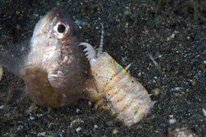 Hobbit worms (Eunice sp.) eats fish