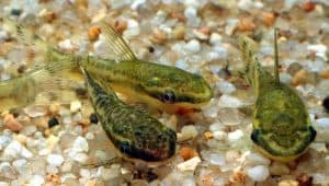 Otocinclus is a social fish