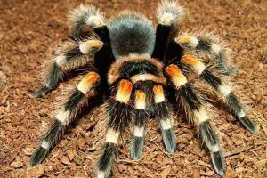 Tarantula as Pets