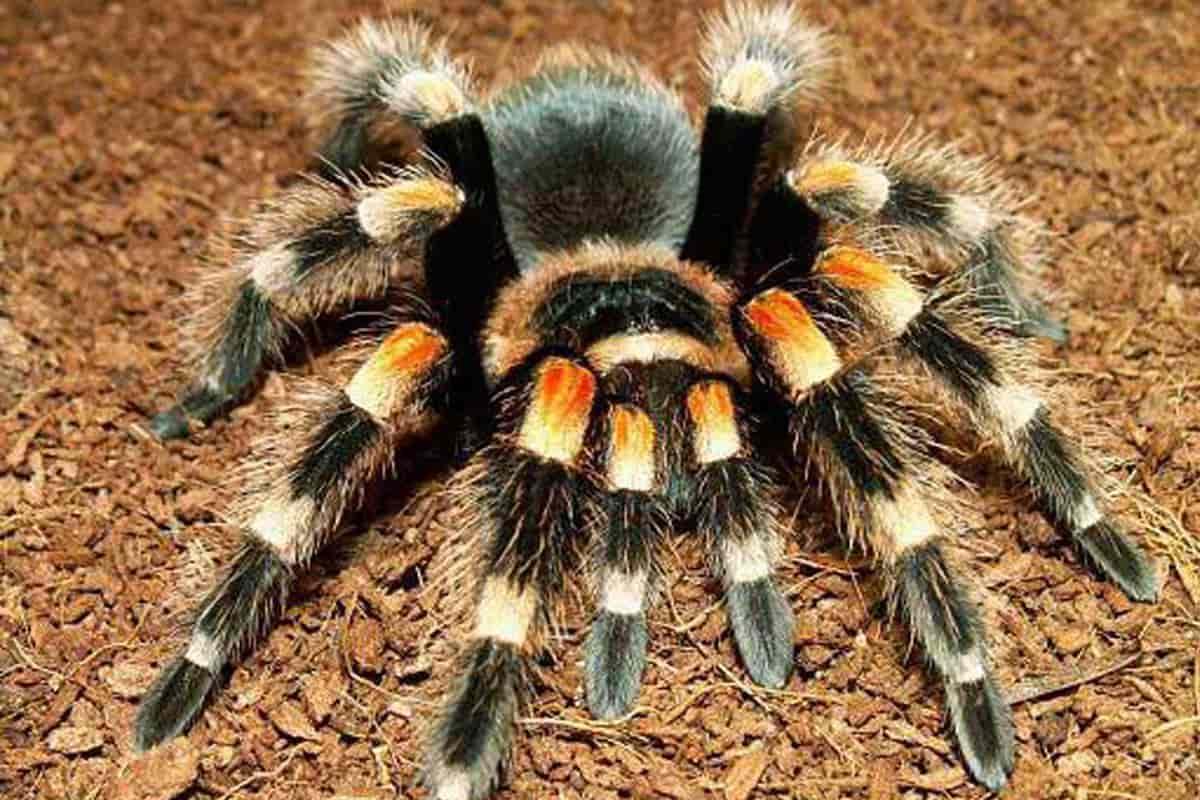 Tarantula as Pets