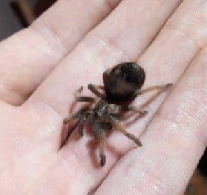 Tarantula pet on hand