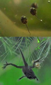 tadpoles African Dwarf Frogs (Hymenochirus boettgeri)