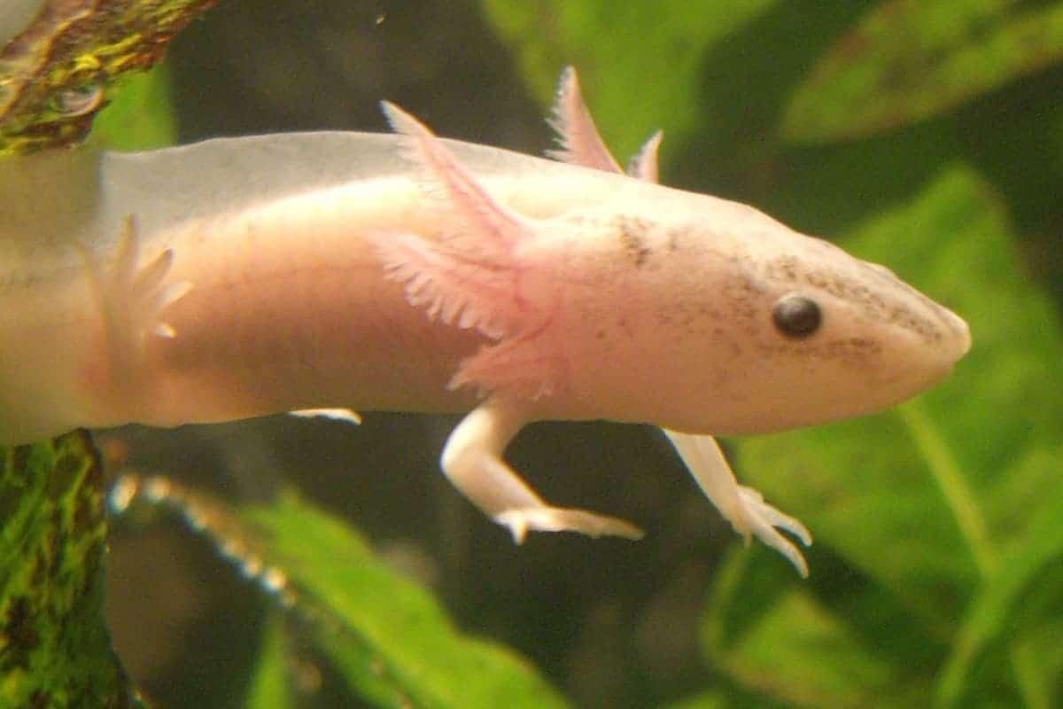 An Axolotl Buying Guide