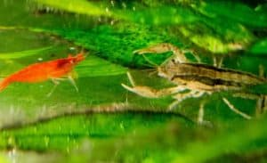 Brazos Dwarf Crayfish (Cambarellus texanus) and cherry shrimp