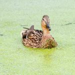 Duckweed and duck