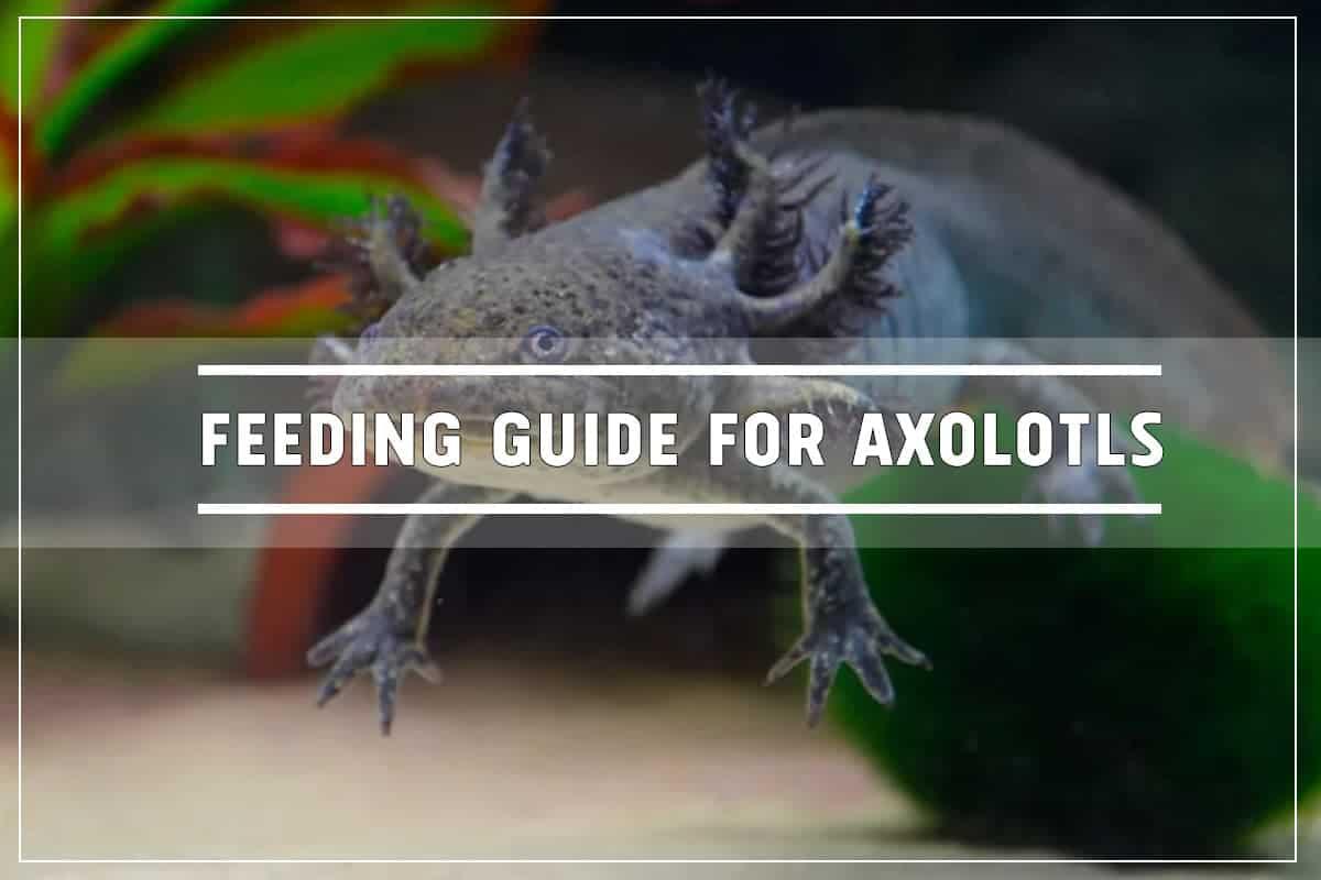 Feeding Guide for Axolotls