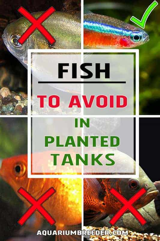Fish Causing Problems in Planted Tanks pinterest