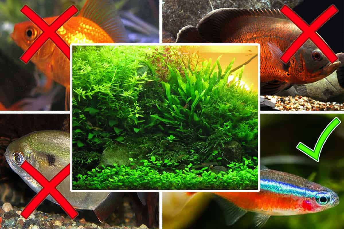 Fish Causing Problems in Planted Tanks