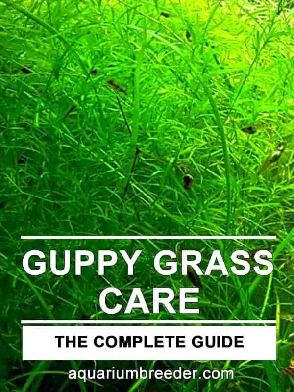 Guppy Grass Care Guide – Planting, Growing, and Propagation