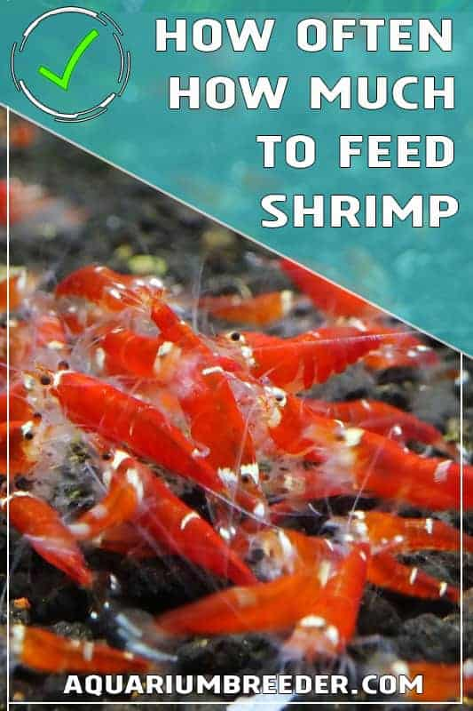 How Often and How Much to Feed Shrimp