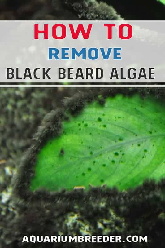 How to Remove Black Beard Algae in Aquariums