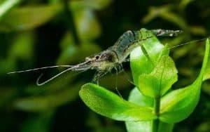 Chinese grass shrimp (Palaemonetes sinensis)